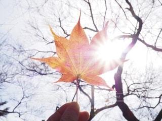 太陽と楓の写真・画像素材[4694082]