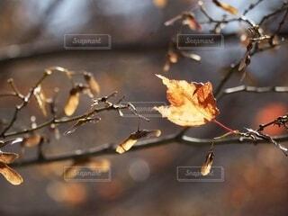 光を透かす楓の写真・画像素材[4694084]