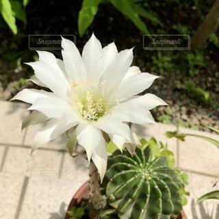 サボテンから伸びた真っ白な花の写真・画像素材[4732354]