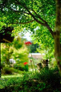 緑の中に咲く彼岸花の写真・画像素材[4840534]