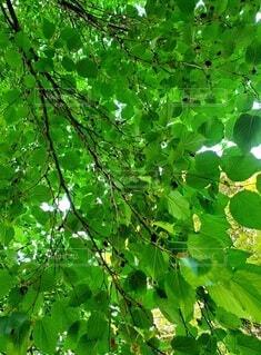 近所にある桑の木 桑の実の写真・画像素材[4702348]