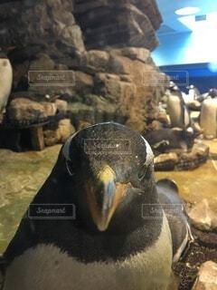 こっちを見てるペンギンの写真・画像素材[4713743]
