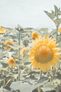 sun flowerの写真・画像素材[4701543]