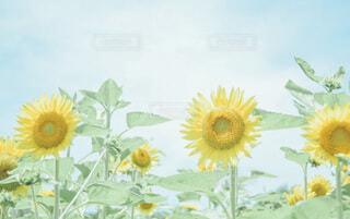 一緒に見つけた向日葵畑の写真・画像素材[4701547]
