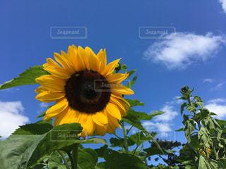 黄色の花の写真・画像素材[1164314]