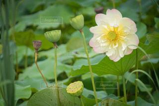 蓮の花の写真・画像素材[4708043]