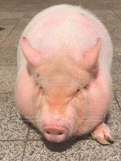 豚さんの昼寝の写真・画像素材[4709642]