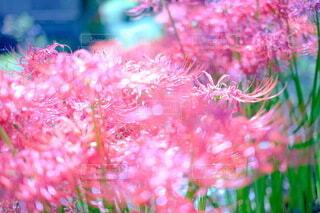 花,秋,日常,彼岸花,思い出,実家,草木,SONY,ランブータン,gm,α6400,f1.4
