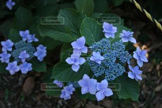 花,植物,あじさい,紫陽花,梅雨