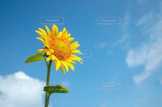 青空を仰ぐ向日葵の写真・画像素材[4714704]