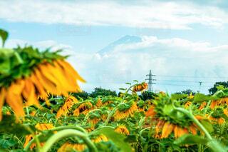 終わりかけの向日葵の写真・画像素材[4714745]
