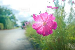ピンクの秋桜の写真・画像素材[4715314]