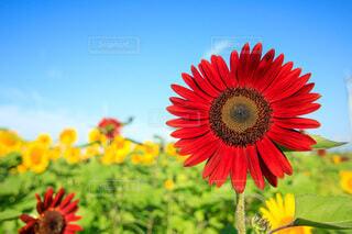 黄色いなかに赤い向日葵の写真・画像素材[4715318]