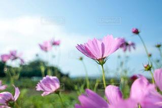 早咲きの秋桜の写真・画像素材[4715323]