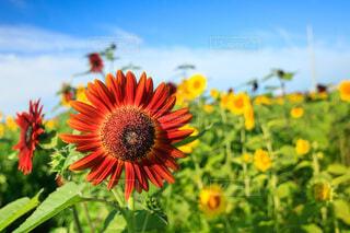 オレンジ色の向日葵の写真・画像素材[4722595]
