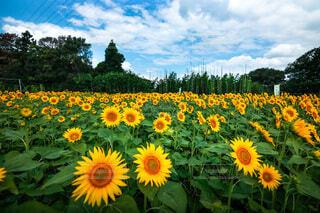青空と向日葵畑の写真・画像素材[4722604]