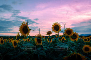 夕暮れどきの向日葵畑の写真・画像素材[4723493]