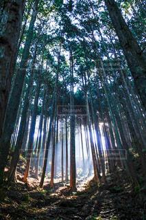 朝の杉林の写真・画像素材[4767946]