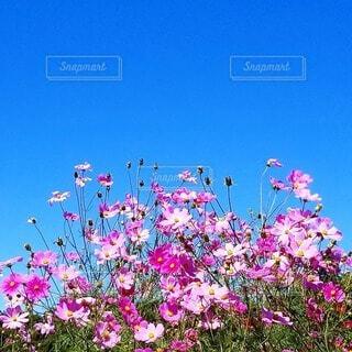 空,花,屋外,コスモス,紫,秋桜,快晴,カラー,草木
