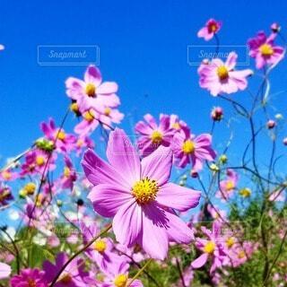 空,花,コスモス,紫,秋桜,快晴,カラー,草木