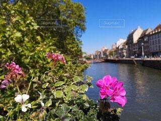 川沿いのピンクの花の写真・画像素材[4747484]