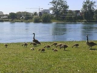 川のほとりの鳥の親子の写真・画像素材[4765462]