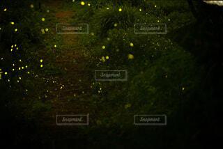 蛍の写真・画像素材[4725485]