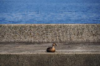 宍道湖とカモの写真・画像素材[4731465]