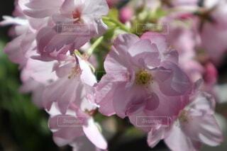 可憐に咲く一才桜の写真・画像素材[4746441]