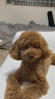 犬,動物,屋内,かわいい,茶色,オシャレ,可愛い,プードル,トイプードル,お洒落,おしゃれ,ベッド,タイニー
