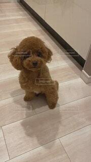 犬,動物,屋内,かわいい,床,オシャレ,可愛い,トイプードル,お洒落,トリミング,おしゃれ,タイニー