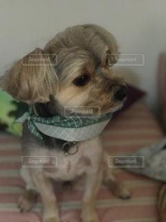 カメラを見て茶色と白犬の写真・画像素材[1028078]