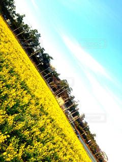 菜の花,糸島市,福ふくの里