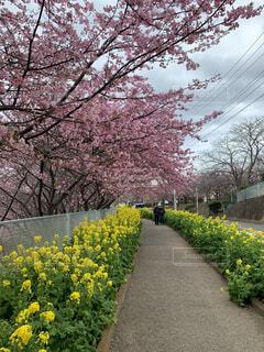 河津桜と菜の花の写真・画像素材[4757558]