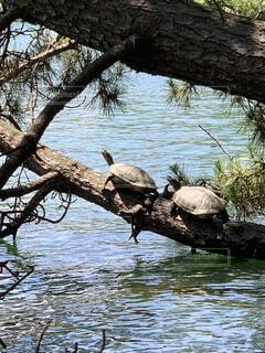 枝の上の亀2匹の写真・画像素材[4757583]