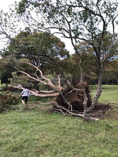 台風で倒れた木と人の写真・画像素材[3164450]