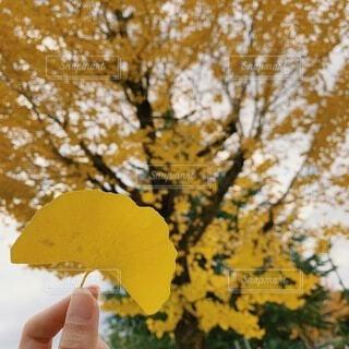イチョウの木の写真・画像素材[4833354]