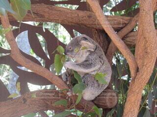 動物,木,屋外,緑,葉っぱ,景色,癒し,可愛い,動物園,コアラ,もふもふ