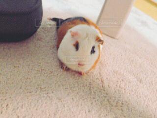 カメラを見て齧歯動物の写真・画像素材[738753]
