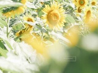向日葵の写真・画像素材[4757742]