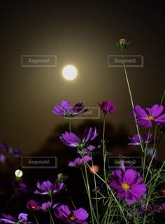 満月とコスモスの写真・画像素材[4919980]