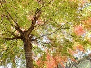 大木の紅葉の写真・画像素材[4789235]