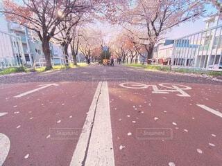 札幌 桜並木の写真・画像素材[4760438]