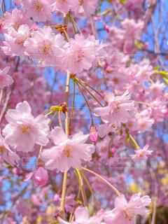 月寒公園の桜の写真・画像素材[4760442]