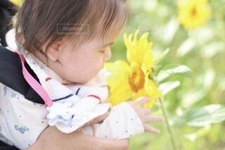 秋に咲く向日葵の写真・画像素材[4857458]