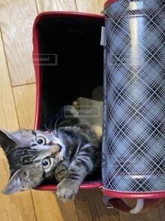 ランドセル猫の写真・画像素材[4760553]