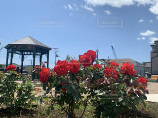青空と薔薇の写真・画像素材[4855948]