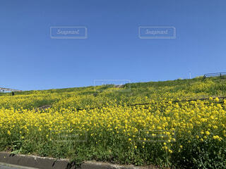 菜の花ロードの写真・画像素材[4855956]
