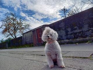 夏空の下、道にお座りして遠くを見つめる犬の写真・画像素材[4786028]