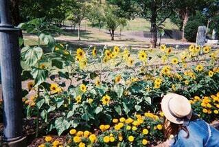 花,屋外,ひまわり,film,草木,フィルム写真